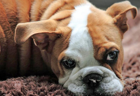 Ginger the English Bulldog Pictures 726354