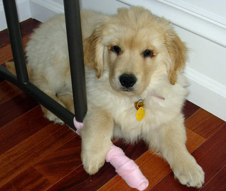 Ginger the Golden Retriever Pictures 708197