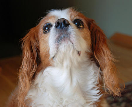 Ginger the Cavalier King Charles Spaniel Pictures 682789