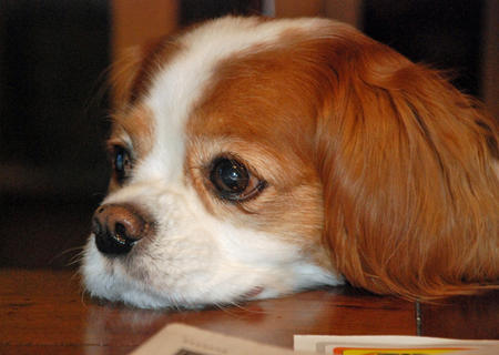 Ginger the Cavalier King Charles Spaniel Pictures 682791