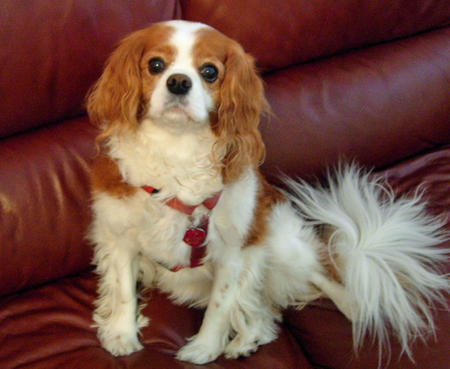 Ginger the Cavalier King Charles Spaniel Pictures 682792