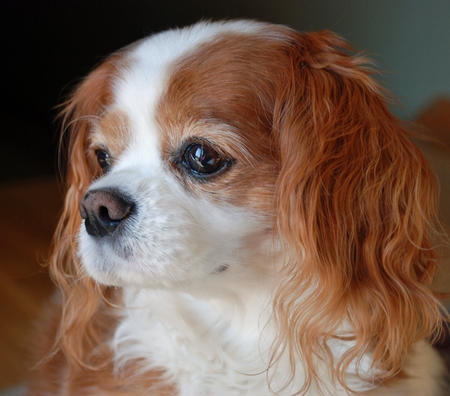 Ginger the Cavalier King Charles Spaniel Pictures 682793
