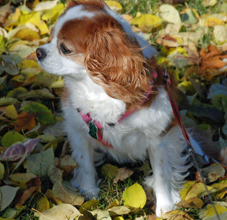 Ginger the Cavalier King Charles Spaniel Pictures 682787