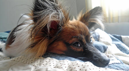 Gizmo the Papillon Pictures 1024486