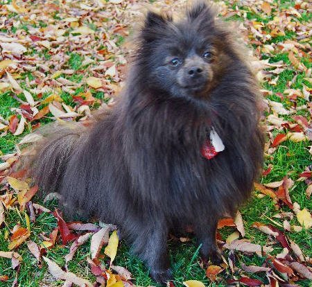 Gizmo the Pomeranian Pictures 855066