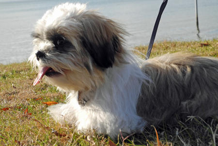 Gizmo the Shih Tzu Pictures 716821