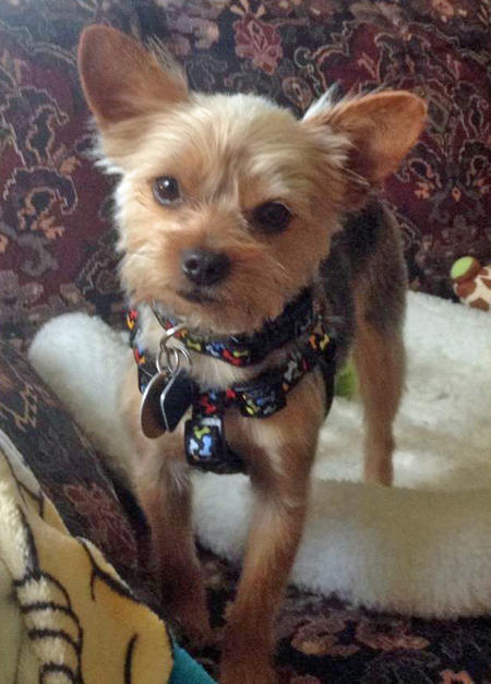 Gizmo the Yorkshire Terrier Pictures 1024554