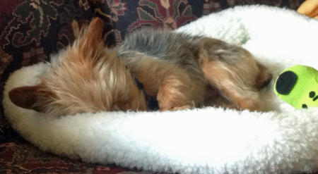 Gizmo the Yorkshire Terrier Pictures 1024555