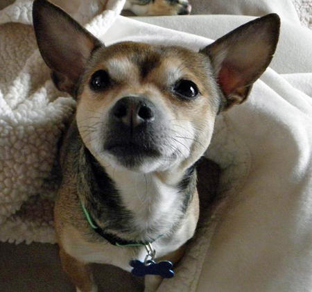 Gizzie the Chihuahua Mix Pictures 761613