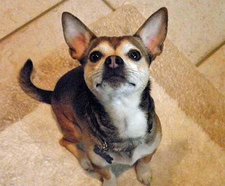 Gizzie the Chihuahua Mix Pictures 761615