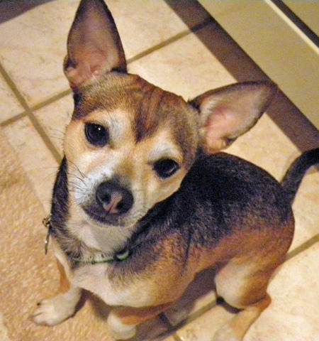 Gizzie the Chihuahua Mix Pictures 761616