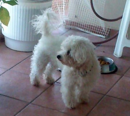 Glyka the Bichon Frise Pictures 973155