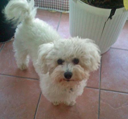 Glyka the Bichon Frise Pictures 973153
