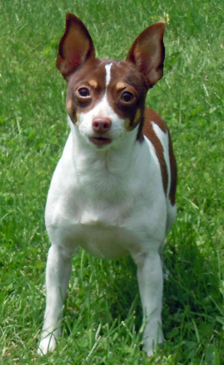 Gordon the Rat Terrier Pictures 1055643