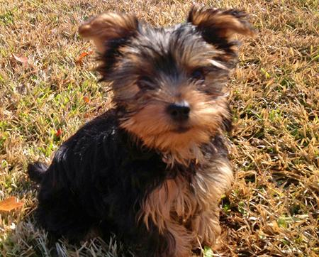 Gracey Bell the Yorkie Pictures 942066