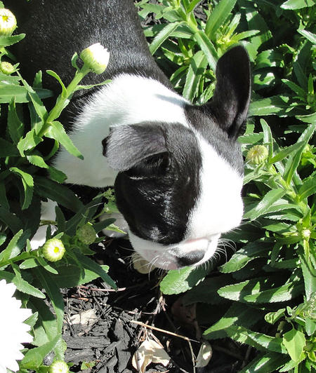 Gracie the Boston Terrier Pictures 926867