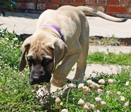 Gracie the English Mastiff Pictures 1016644