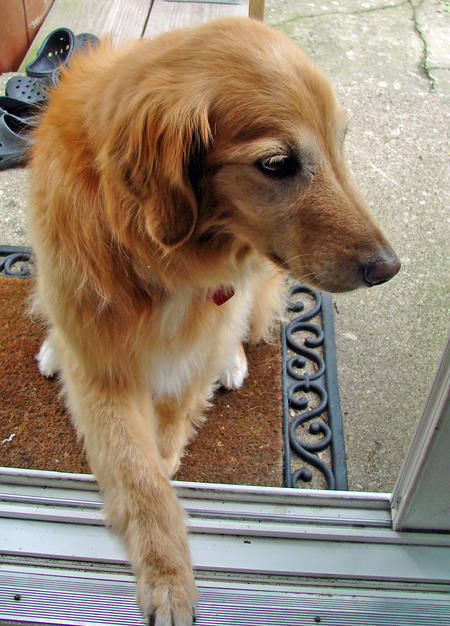 Gracie the Golden Retriever Mix Pictures 815289