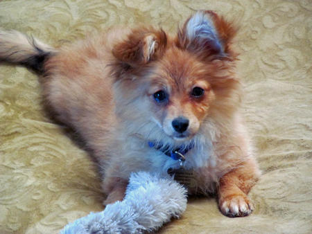 Gracie the Pomeranian Mix Pictures 1048057