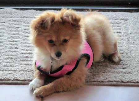 Gracie the Pomeranian Mix Pictures 1048058