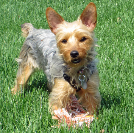 Gracie the Yorkie Pictures 659205