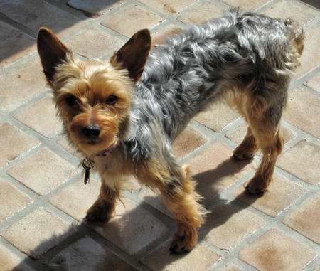 Gracie the Yorkie Pictures 659206
