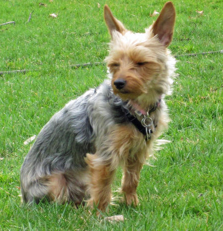 Gracie the Yorkie Pictures 659202