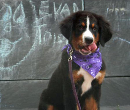 Grady the Bernese Mountain Dog Pictures 833575
