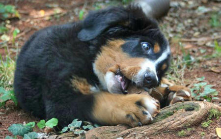 Grady the Bernese Mountain Dog Pictures 833573