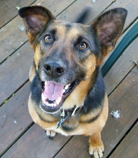 Griffin the German Shepherd Mix Pictures 617377