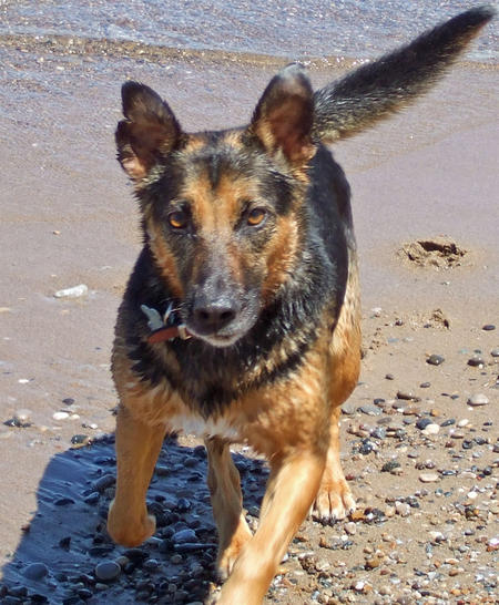 Griffin the German Shepherd Mix Pictures 617383