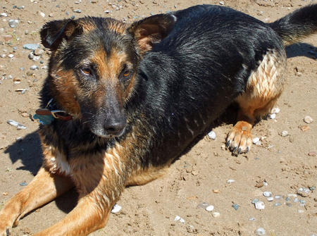 Griffin the German Shepherd Mix Pictures 617384