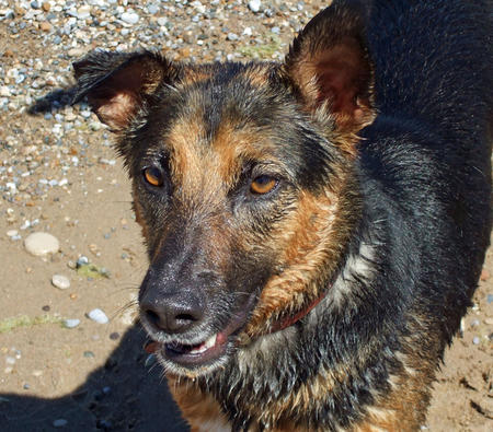 Griffin the German Shepherd Mix Pictures 617385
