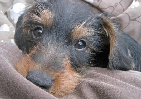 Griffon the Dachschund Mix Pictures 740074