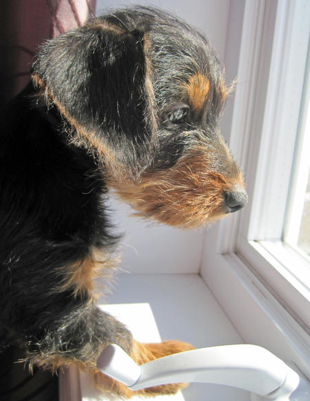 Griffon the Dachschund Mix Pictures 740075