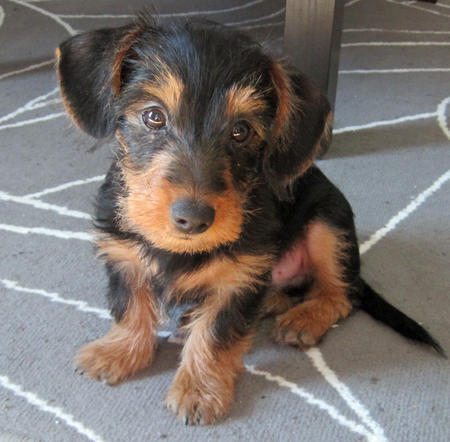 Griffon the Dachschund Mix Pictures 740079