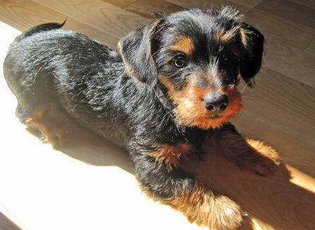 Griffon the Dachschund Mix Pictures 740073