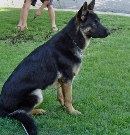 Grizz the German Shepherd Pictures 527853