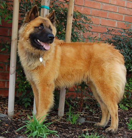 Grizzly the Adoptable Shepherd Mix Pictures 796658