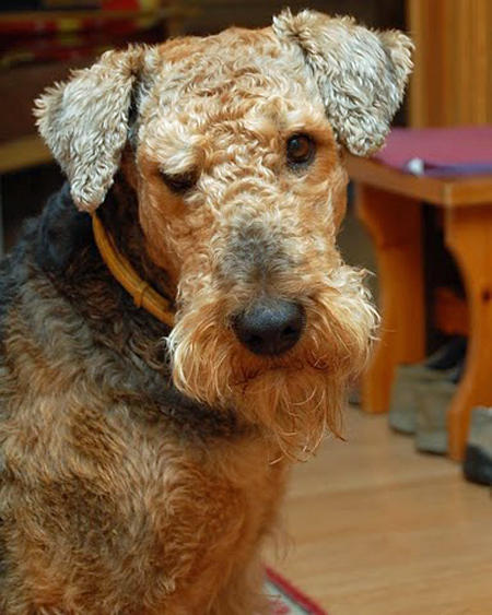 Grom the Airedale Terrier Pictures 660044