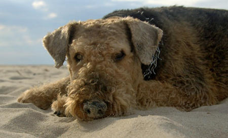 Grom the Airedale Terrier Pictures 660045