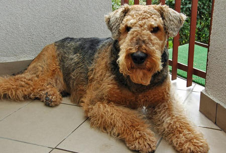 Grom the Airedale Terrier Pictures 660046