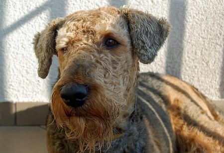 Grom the Airedale Terrier Pictures 660043