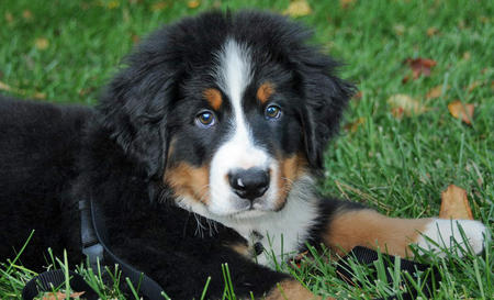 Gucci the Bernese Mountain Dog Pictures 477594