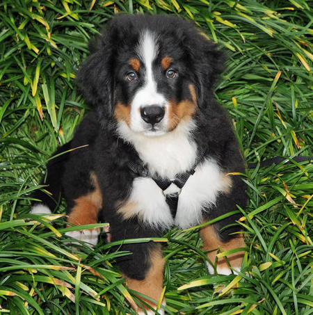 Gucci the Bernese Mountain Dog Pictures 477596