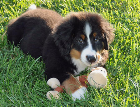 Gucci the Bernese Mountain Dog Pictures 477597