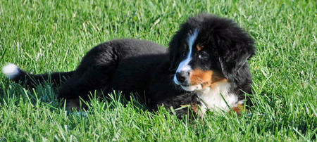 Gucci the Bernese Mountain Dog Pictures 477599