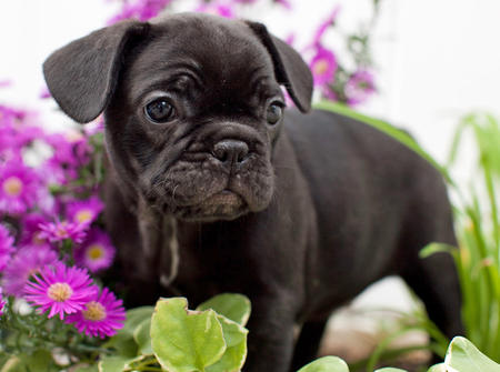 Gucci the French Bulldog Pictures 661222