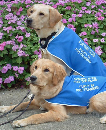 Guiding Eyes Guide Dogs Pictures 434316