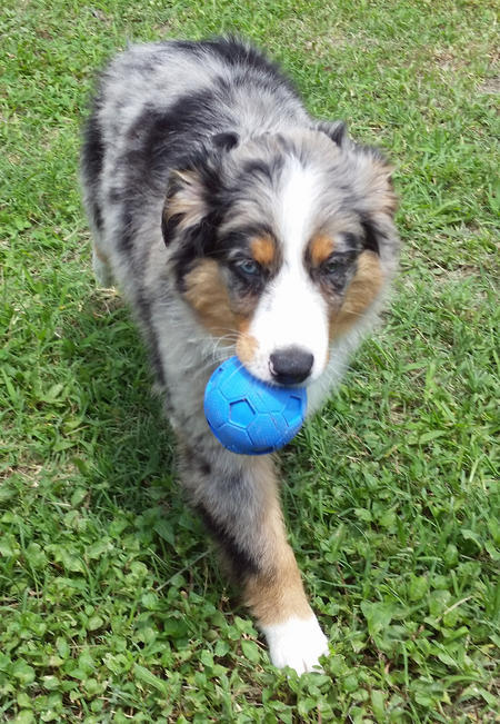 Gunner the Australian Shepherd Pictures 1056592